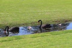 Famille de cygne noir sur le fond d'herbe verte photo libre de droits