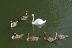 Famille de cygne sur le fleuve Photos libres de droits