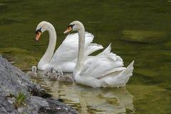 Famille de cygnes avec des jeunes cygnes au lac de hallstaettersee hallstatt photographie stock libre de droits