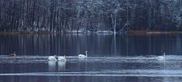 Famille de cygnes dans le lac Viljandi en décembre Photographie stock libre de droits