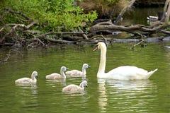 Famille de cygnes en parc de Tilgate, Angleterre photo stock