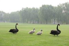 Famille de cygnes noirs photo stock