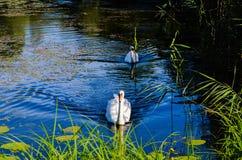 Famille de cygnes sur l'eau bleue image stock