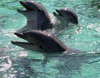 Famille de dauphin Photos libres de droits