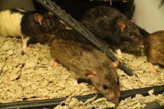 Famille de fantaisie de rat d'animal familier Photo stock