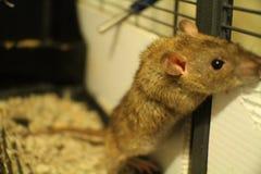Famille de fantaisie de rat d'animal familier Image stock