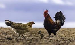 Famille de Feral Marans Chicken sur la plage Image stock
