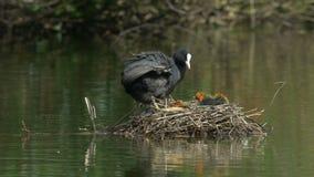 Famille de foulque maroule (atra de Fulica) lissant dans le nid clips vidéos