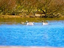 Famille de Geeses sur un lac images libres de droits