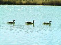 Famille de Geeses sur un lac image stock