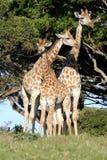 Famille de girafe Photographie stock libre de droits