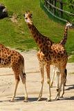Famille de girafe Photo libre de droits