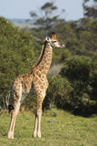 Famille de girafe avec le bébé minuscule Images libres de droits