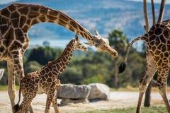 Famille de girafe sur une promenade Photographie stock