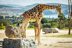 Famille de girafe sur une promenade Image stock