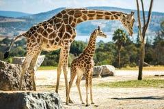 Famille de girafe sur une promenade Photos libres de droits