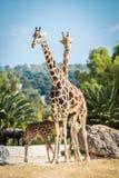 Famille de girafe sur une promenade Photos stock
