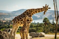 Famille de girafe sur une promenade Photo libre de droits