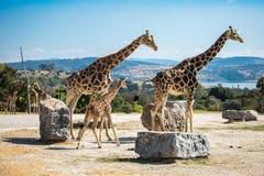 Famille de girafe sur une promenade Photo stock
