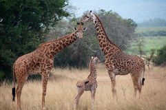 Famille de giraffe photo stock