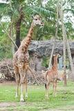 Famille de giraffe Photos libres de droits