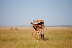 Famille de giraffe Image libre de droits