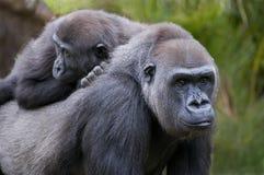 Famille de gorille Photos libres de droits