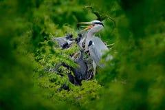 Famille de héron dans la scène de alimentation de nid pendant le temps d'emboîtement Héron gris avec des jeunes dans la nourritur photo stock