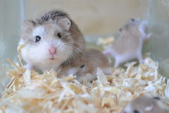Famille de hamster Images stock