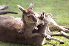 Famille de kangourou Image libre de droits