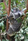 Famille de koala Photo libre de droits
