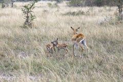 Famille de Kob, la Reine Elizabeth National Park, Ouganda images stock