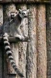 Famille de lémur Photos libres de droits