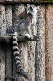 Famille de lémur Photo libre de droits