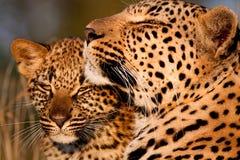 Famille de léopard Image stock