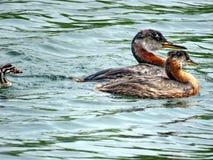 Famille de lac toronto de grèbe à col rouge nageant 2017 Photographie stock
