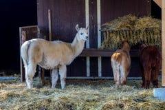 Famille de lama Image libre de droits