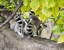 Famille de Lemur Images stock