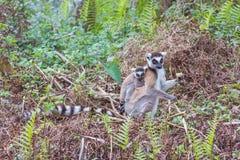 Famille de Lemur Ring-tailed Photo libre de droits