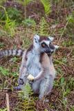 Famille de Lemur Ring-tailed Images stock
