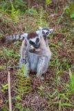 Famille de Lemur Ring-tailed Image libre de droits