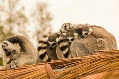 Famille de lemur suivie par boucle Photographie stock libre de droits