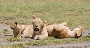 Famille de lion Image libre de droits