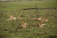 Famille de lion se situant dans l'herbe Photographie stock