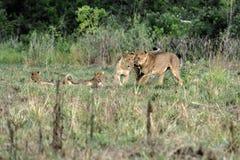 Famille de lions Image libre de droits