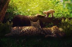 Famille de Lynx dans la forêt Photographie stock