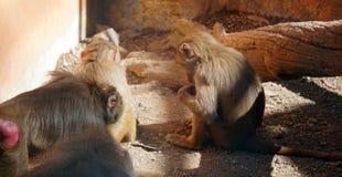 Famille de Macaque au zoo photo stock
