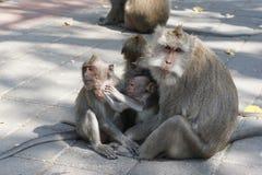 Famille de Macaques Photo stock