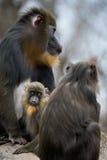 Famille de mandrill Photos libres de droits