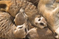 Famille de Meercat Photo libre de droits
